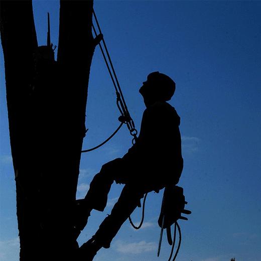 Bellizzi Tree Service Trimming San Jose