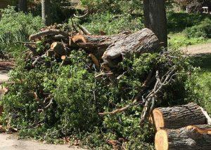 Tree Pruning, Campbell, San Jose, Morgan Hill, Sonora